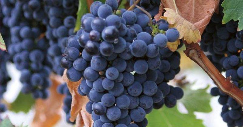 საფერავების დეგუსტაცია  ღვინის კლუბში