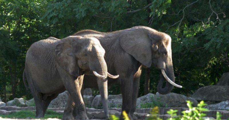 ბრაკონიერებმა 500-მდე სპილო მოკლეს