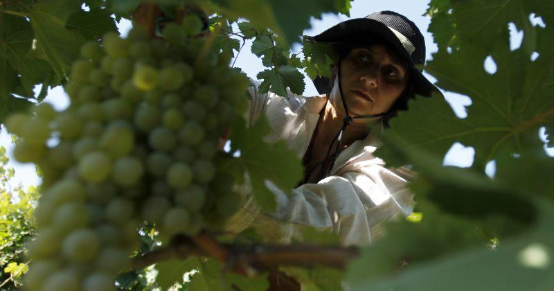 რთველი 2013: თუ კომპანია ყურძენს 1 ლარად ჩაიბარებს, ის მიიღებს სუბსიდიას