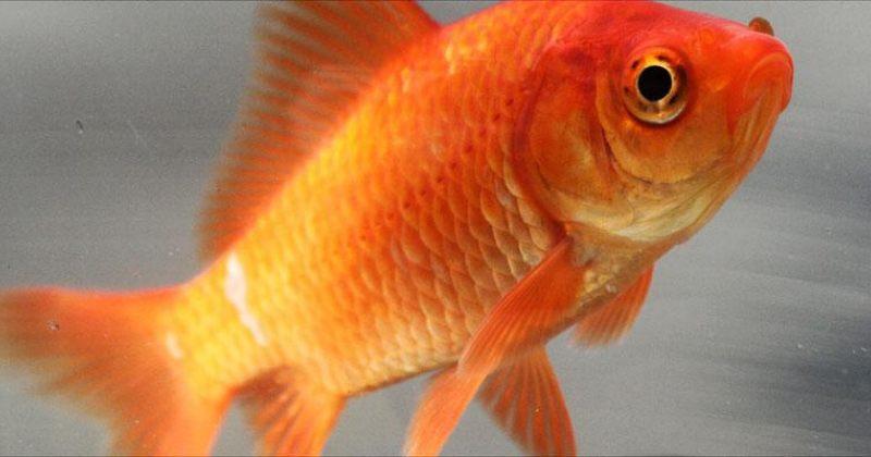ვოვას ოქროს თევზი