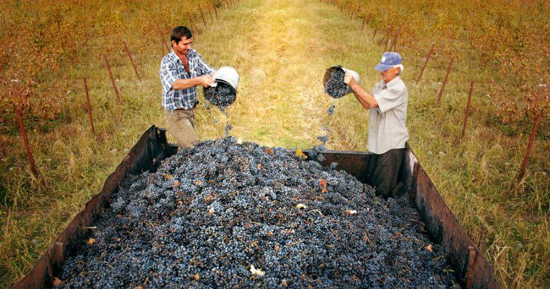 ღვინის ეროვნული სააგენტო: უხარისხო ყურძენს სახელმწიფო კომპანიები იბარებენ