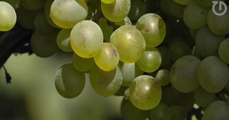 ღვინის ეროვნული სააგენტო: კახეთში რთველი შეფერხების გარეშე მიმდინარეობს