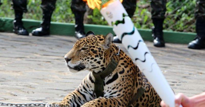 ბრაზილიაში ოლიმპიური ცეცხლის ანთების ცერემონიისას იაგუარი მოკლეს