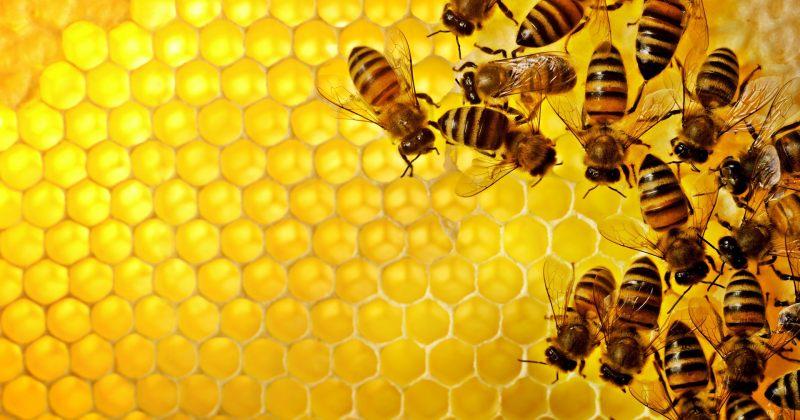 დასავლეთ საქართველოში გარეულმა კრაზანამ ფუტკრის ოჯახები გაანადგურა