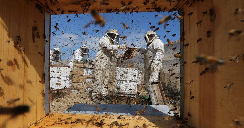 პალესტინელი მეფუტკრეები ღაზას სექტორში, რაფას ფერმაში თაფლს აწარმოებენ