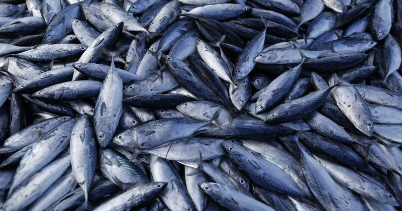 საქართველომ ევროკავშირის ბაზარზე თევზის ექსპორტის უფლება მიიღო