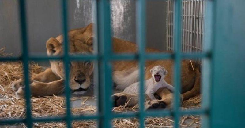 ალეპოს ზოოპარკიდან იორდანიაში გადაყვანილმა ლომმა ბოკვერი გააჩინა