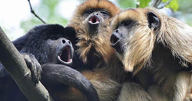 კვლევა:  მაიმუნები პატარა სათესლე ჯირკვლებით უფრო ხმამაღლა ყვირიან, ვიდრე სხვები