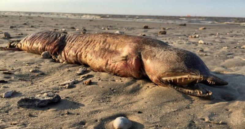 ქარიშხალ ჰარვის შედეგად ტეხასის სანაპიროზე წყალმა გიგანტური გველთევზა გამორიყა