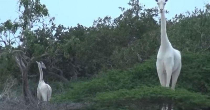 კენიაში იშვიათი თეთრი ჟირაფები დააფიქსირეს