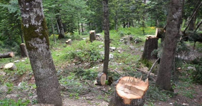 ხე-ტყის უკანონო ჭრაზე სანქციები მკაცრდება