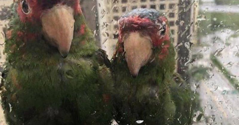 თუთიყუშები ფლორიდაში სასტუმროს 22-ე სართულზე, ისინი ქარიშხალ ირმას გადაურჩნენ