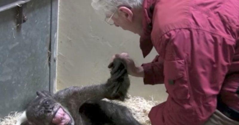 59 წლის მომაკვდავი შიმპანზე, რომელმაც საკუთარი ძველი მომვლელი იცნო [VIDEO]