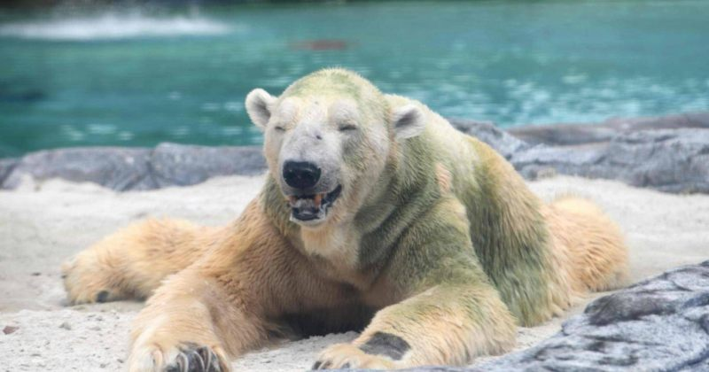 სინგაპურში მოკვდა პირველი პოლარული დათვი, რომელიც ტროპიკულ ჰავაში დაიბადა