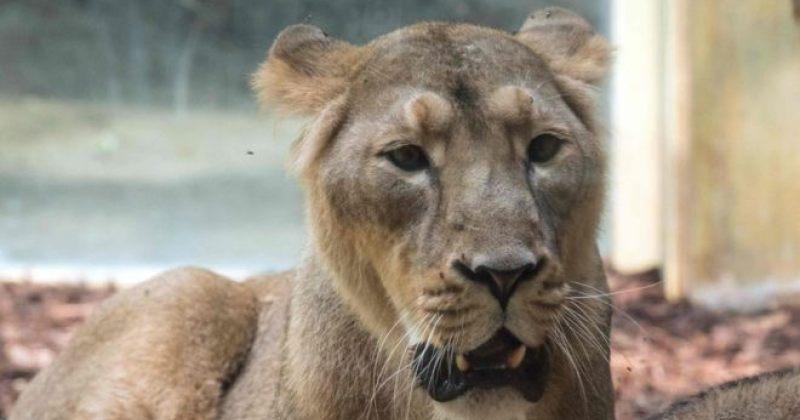 გერმანიაში, ზოოპარკიდან ორი ლომი, ორი ვეფხვი და ერთი იაგუარი გაიქცა
