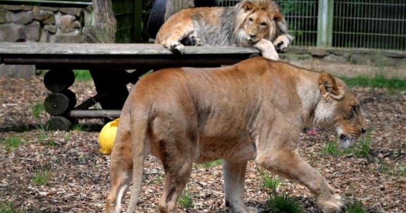 გერმანიის ზოოპარკიდან გაქცეული გარეული ცხოველები დრონით იპოვეს