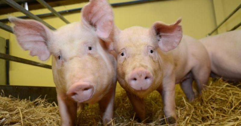 გენურად რედაქტირებულმა ღორებმა შესაძლოა ფერმერებს მილიარდები დაუზოგოს