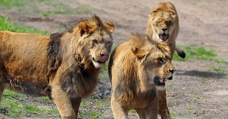 მარტორქებზემონადირე ბრაკონიერები ლომებმა შეჭამეს