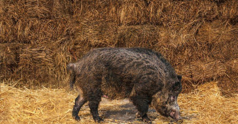 სამინისტრო: კახური ღორის აღდგენა-გამრავლების პროცესი წარმატებით მიმდინარეობს