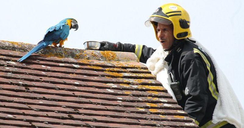 """სახურავზე აფრენილმა თუთიყუშმა მის ჩამოსაყვანად მისულ მეხანძრეს """"Fu*k off"""" უთხრა"""