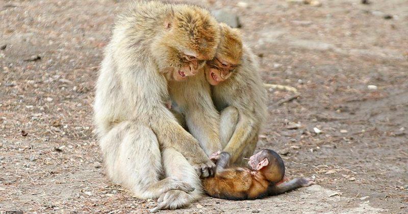 ბერბერული მაკაკები თბილისის ზოოპარკში პატარა მაიმუნს ეთამაშებიან