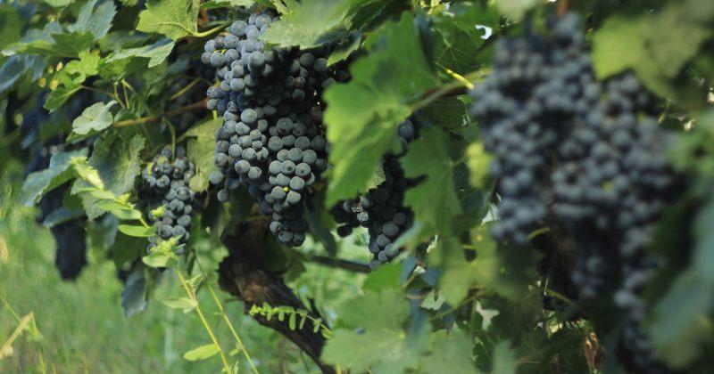 სახელმწიფო კომპანია აკურა უხარისხო ყურძენს 2019 წელსაც შეიძენს