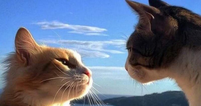 შეყვარებული კატების ფოტოები
