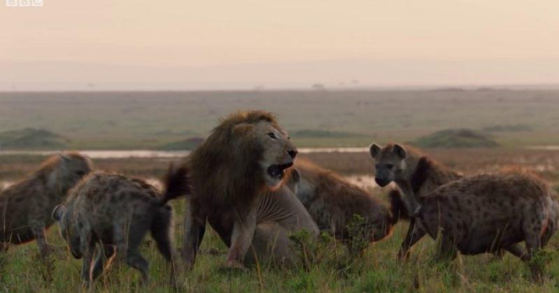 ლომს თავს 20 აფთარი დაეხსა, ის მეორე ლომმა გადაარჩინა [Video]