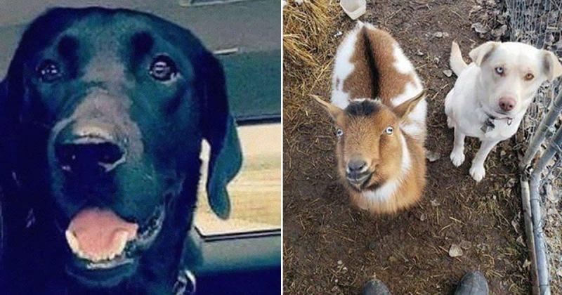 დაკარგული ძაღლი სახლში სხვა ძაღლთან და თხასთან ერთად დაბრუნდა - ვიდეო