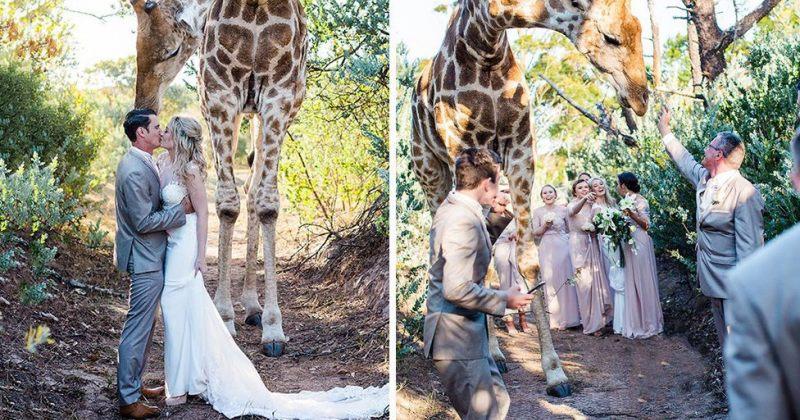 ჟირაფის მოულოდნელი გამოჩენა ქორწილში - ფოტოები