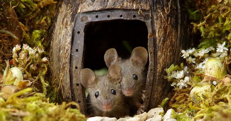 ფოტოგრაფმა ბაღში თაგვების ოჯახი აღმოაჩინა და მათ მინიატურული სოფელი აუშენა