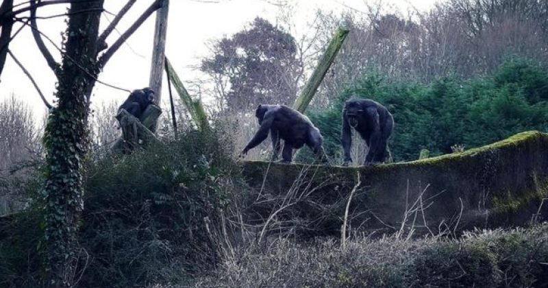 ბელფასტის ზოოპარკიდან რამდენიმე შიმპანზე ვოლიერიდან გაიქცა - ვიდეო