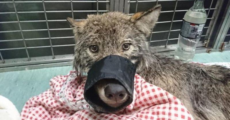 ესტონელებს ეგონათ, რომ სიკვდილს ძაღლი გადაარჩინეს, მალევე გაირკვა, რომ ეს ცხოველი მგელია