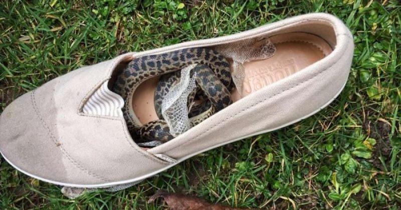 შემთხვევით, ქალმა ავსტრალიიდან შოტლანდიაში ფეხსაცმლით გველი ჩაიყვანა