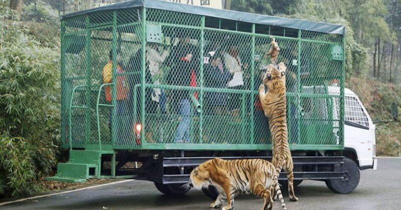 ჩინეთში ზოოპარკი დამთვალიერებლებს გალიებში სვამს, ცხოველები კი თავისუფლად დადიან