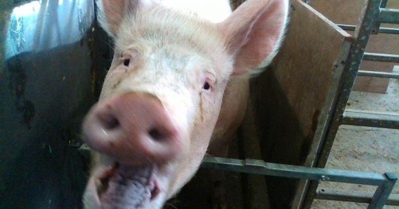 სახის ამოცნობის ტექნოლოგიას ღორის ემოციური მდგომარეობის განსაზღვრა შეუძლია