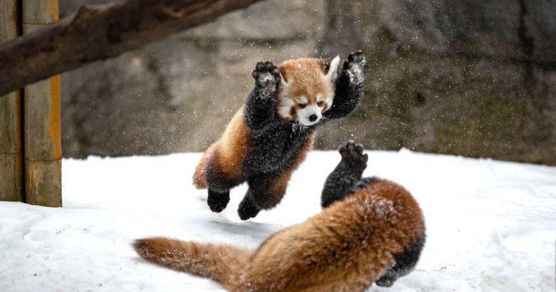 წითელი პანდების თამაში თოვლში - ფოტოები
