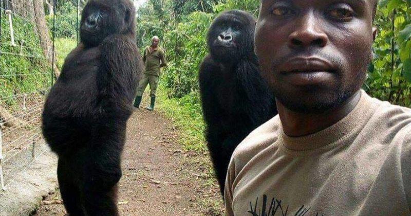 კონგოში, გორილებმა რეინჯერებთან ერთად სელფები გადაიღეს