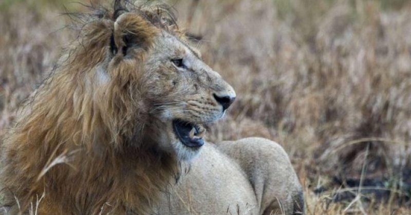სამხრეთ აფრიკაში სპილოს მიერ მოკლული ბრაკონიერი ლომებმა შეჭამეს