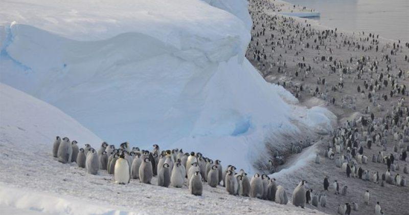 ანტარქტიდაზე ყინულის დაშლის გამო პინგვინის ათასობით ბარტყი ჩაიძირა