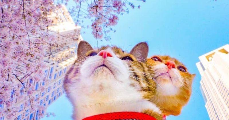 დაიკიჩიდა ფუკუჩანი - კატები, რომლებიც იაპონიის გარშემო მოგზაურობენ - ფოტოები