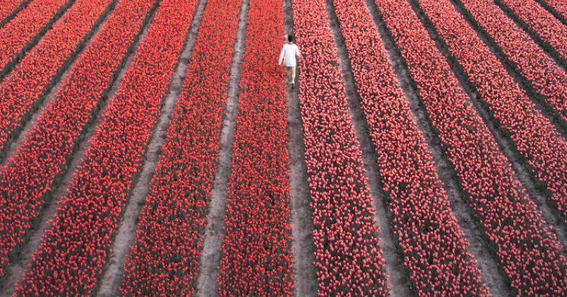 ტიტების ყვავილობა ნიდერლანდებში - შთამბეჭდავი ფოტოგალერეა