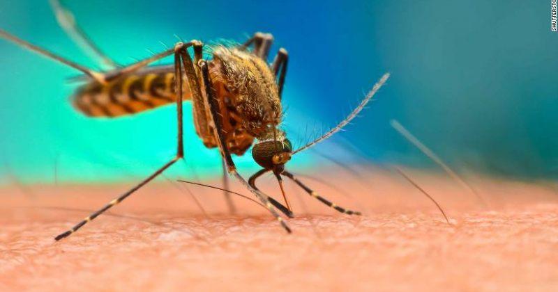 გენეტიკურად მოდიფიცირებული სოკო მალარიის კოღოს 99%-ს კლავს