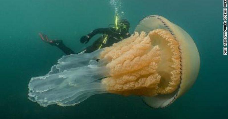 დღის ფოტო: ინგლისის სანაპიროზე ადამიანის ზომის მედუზა შენიშნეს