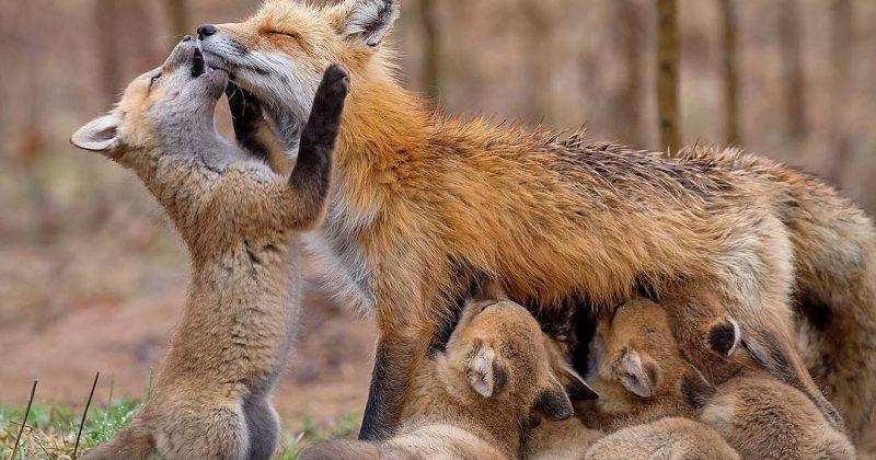როგორ ზრუნავენ ცხოველები საკუთარ შვილებზე [გალერეა]