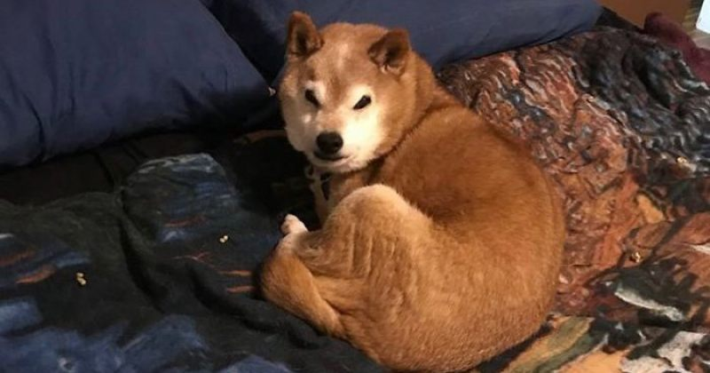 გაიცანით ჩესტერი, ყველაზე უჟმური ძაღლი მსოფლიოში [გალერეა]