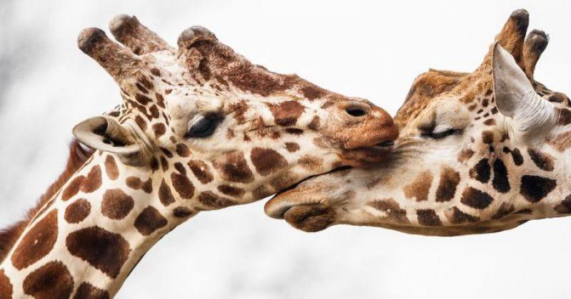 ცხოველები, რომლებიც ერთმანეთის მიმართ სიყვარულს გამოხატავენ - ფოტოები