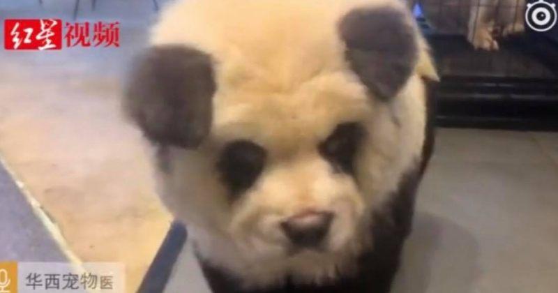 """ჩინეთში """"პანდების კაფეში"""" პანდების ნაცვლად შეღებილი ძაღლები ჰყავთ"""
