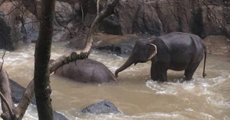 ტაილანდში ერთმანეთის გადარჩენის მცდელობის დროს ექვსი სპილო მოკვდა