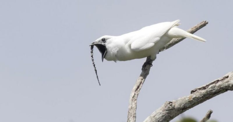 მსოფლიოს ყველაზე ხმამაღალი ფრინველი - თეთრი Bellbird-ი